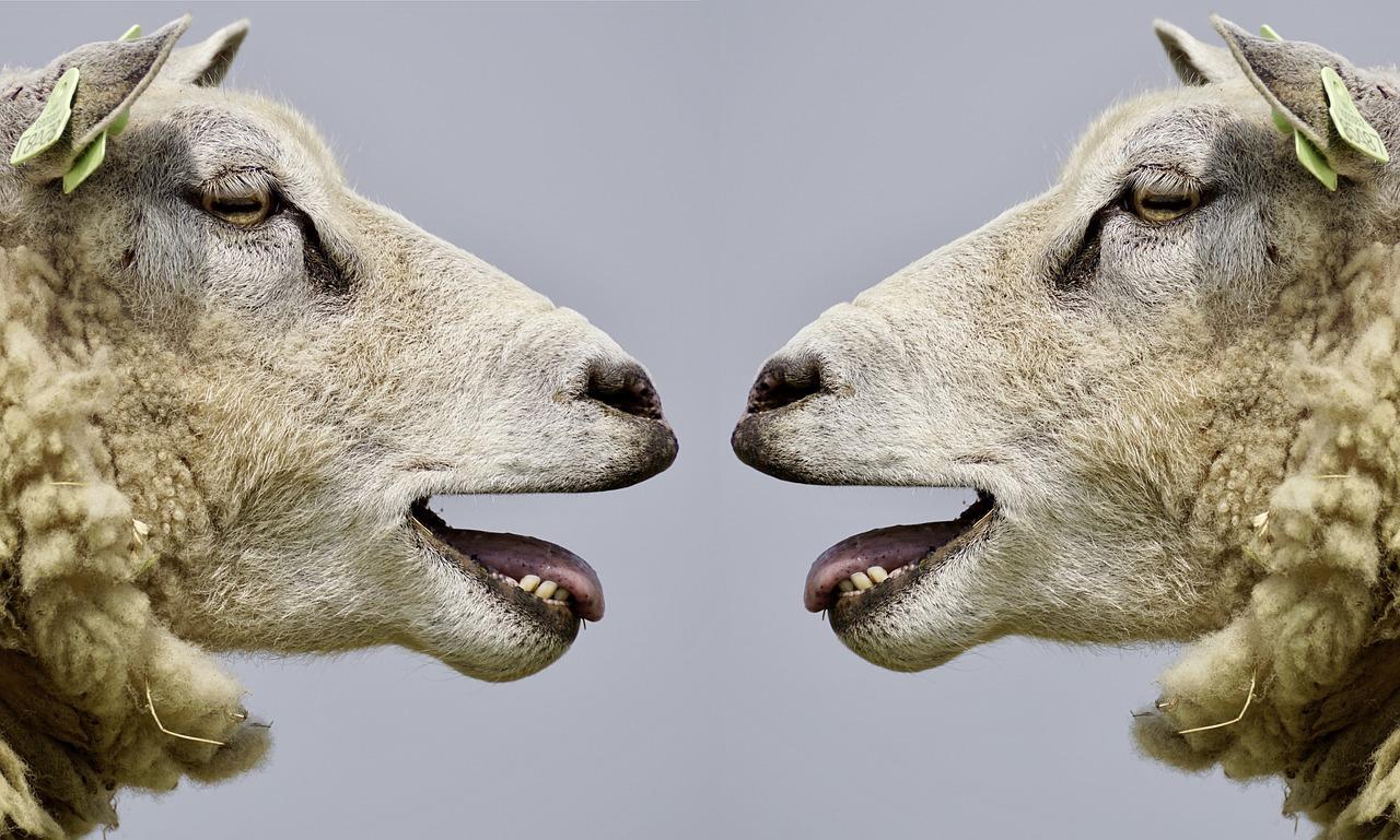praten schapen